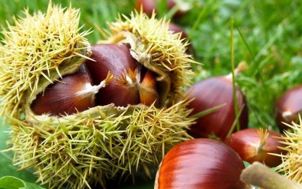 Γνωριμία με τα δέντρα: Καστανιά