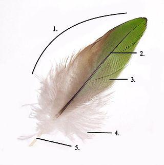 Η ανατομία ενός φτερού | www.wikipedia.org